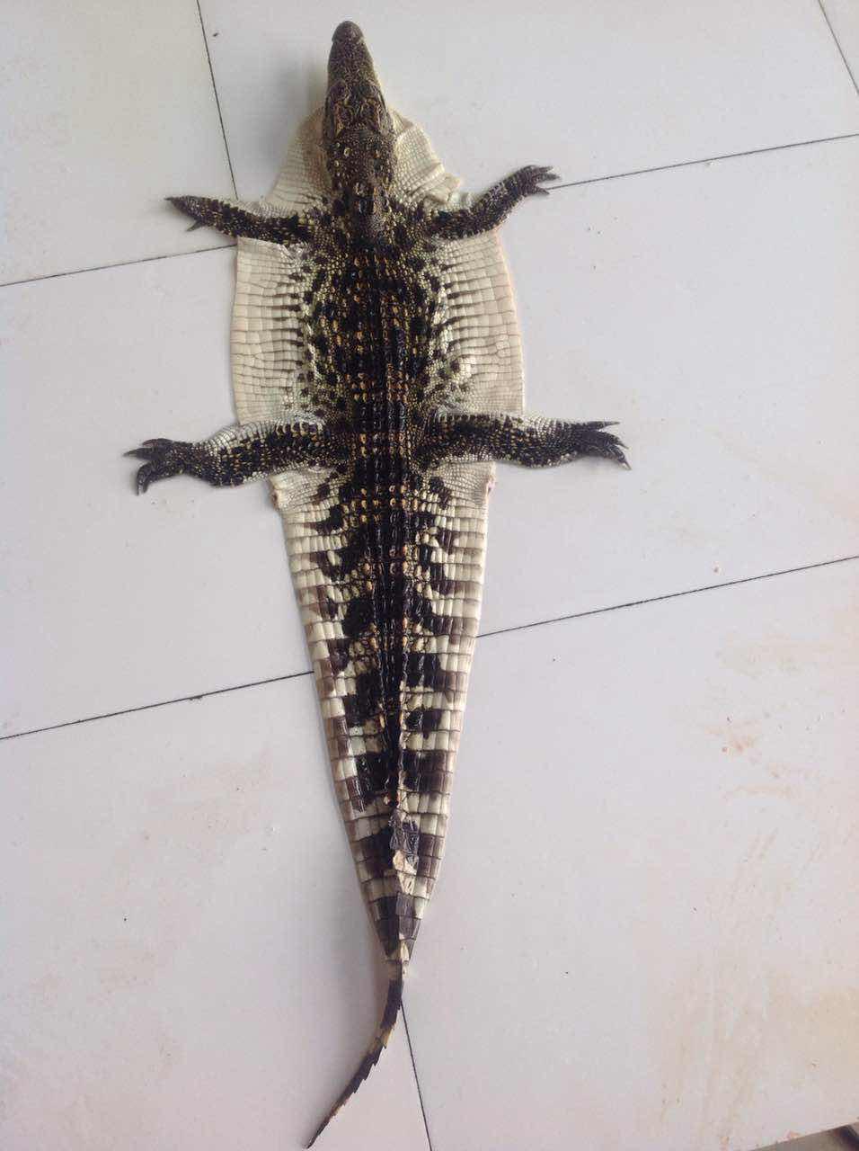 鳄鱼标本的制作现场演示